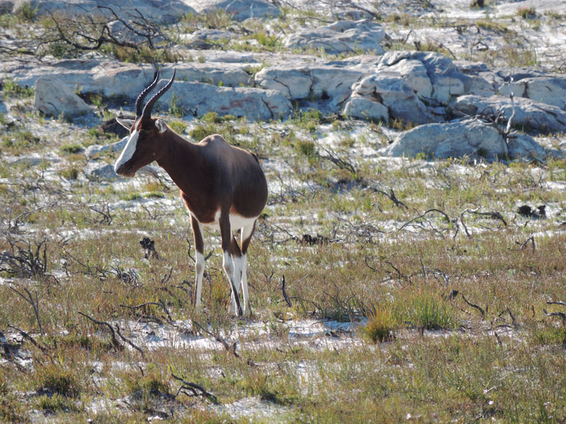 A Bontebok antelope takes advantage of post-fire grazing at Cape Point.