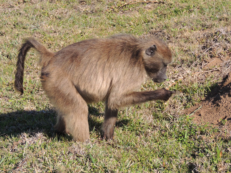 Cape Point baboons are among the very few primates to forage in a coastal environment.