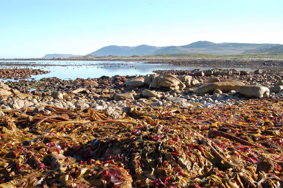 The retreating tide let great heaps of kelp on the beach, picked over by birds & devoured by sand-dwelling beach-hoppers.