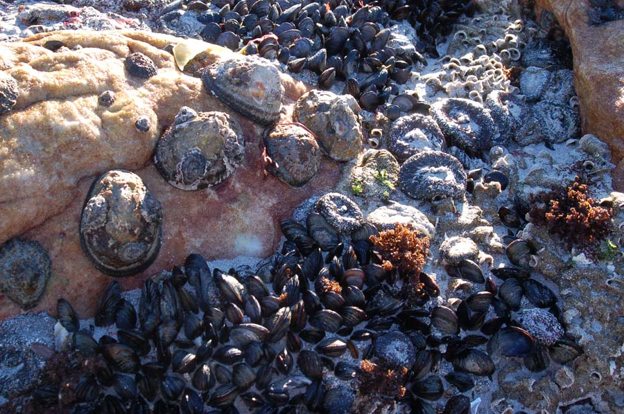 Our Strandloper ancestors feasted on these limpets & mussels; shellfish middens – rubbish dumps – are found all along the Cape coast.