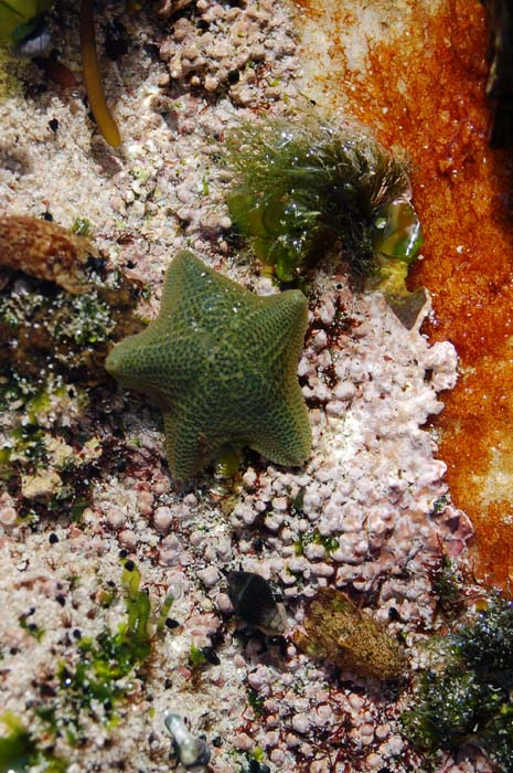 Cushion stars feed by extruding their stomach directly onto algae & also lay eggs that hatch directly into tiny starfish.