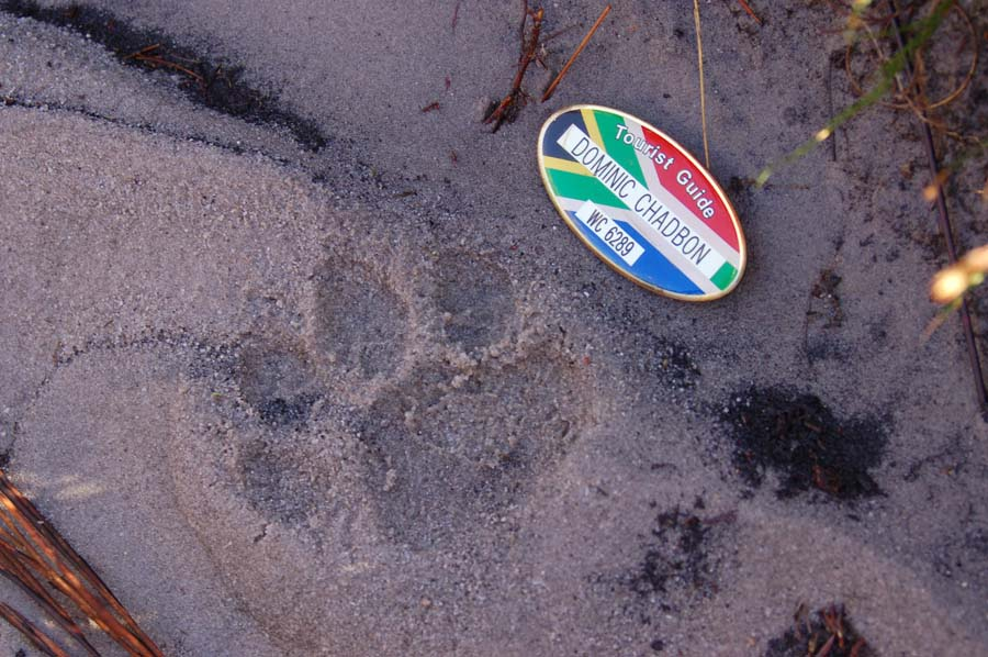 Leopard spoor on the path in Swartboskloof, one of the wildest parts of the Jonkershoek Valley.