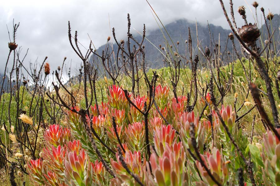 You have the chance to witness the remarkable post-fire recovery of fynbos.