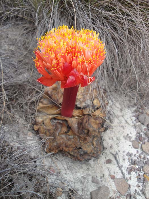 The Paintbrush Lily (Haemanthus sanguineus) is also called the April's Fool Lily as it appears in ... you guessed it ... April.