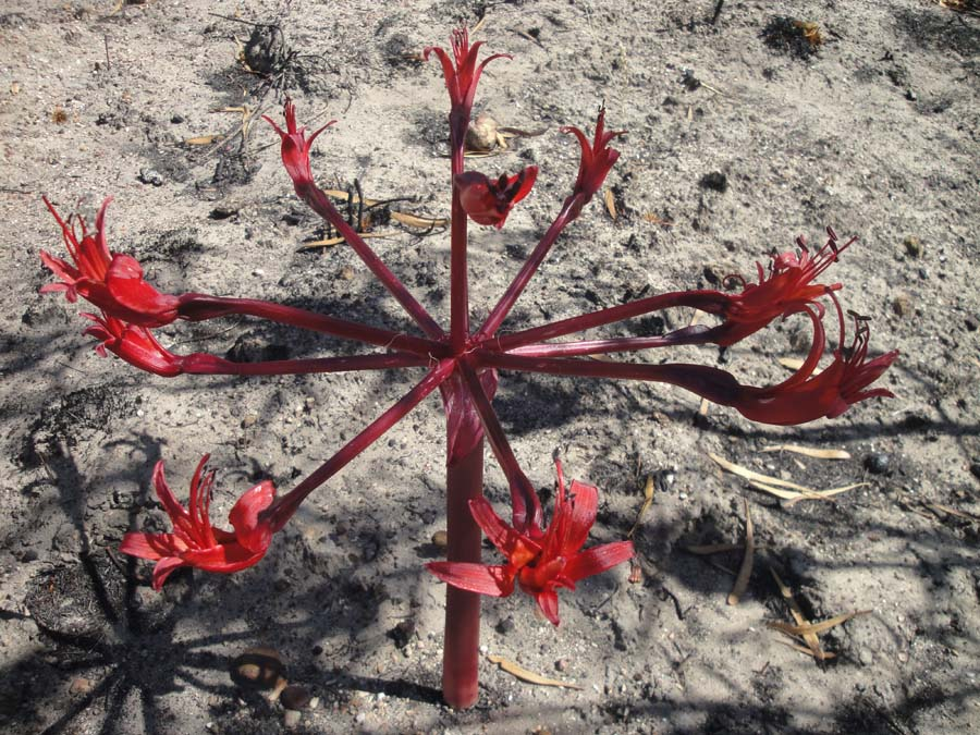 The Candelabra Lily (Brunsvigia orientalis) is an Amaryllis like the Paintbrush Lily, both cousins of the humble Daffodil.