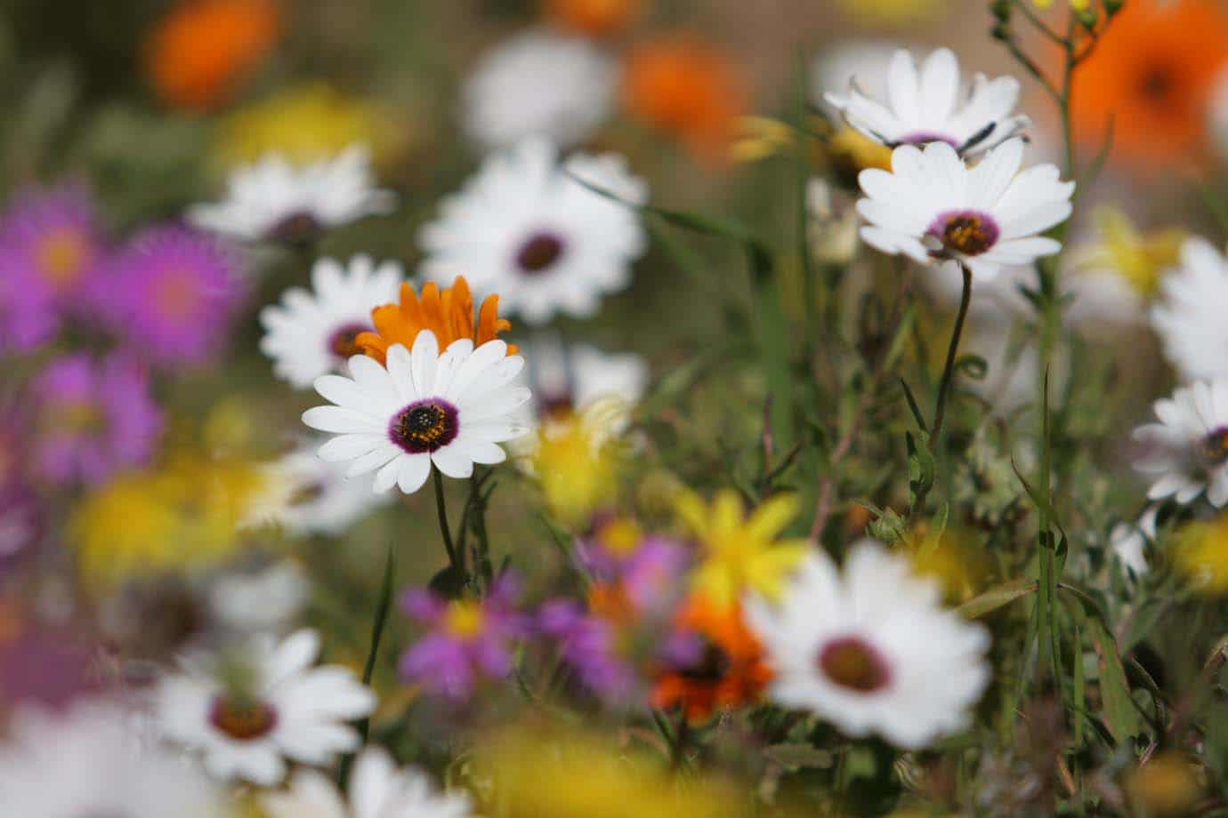 Flower power a guide to fynbos flowers the fynbos guy brightly coloured to us but just bright to insects these daisies are classic insect pollinated flowers izmirmasajfo