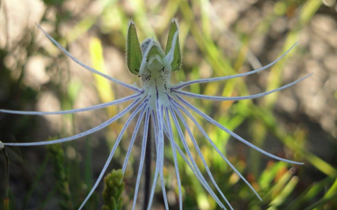 Flower Power – A Guide to Fynbos Flowers