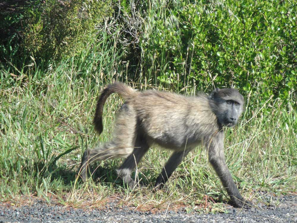 Baboons forage along the coast, making great photographic subjects.
