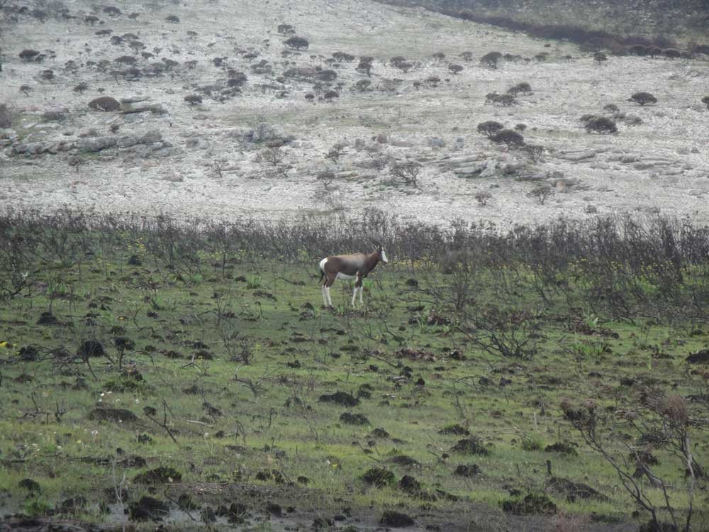 Bontebok antelope are often seen, either as single males or small families.