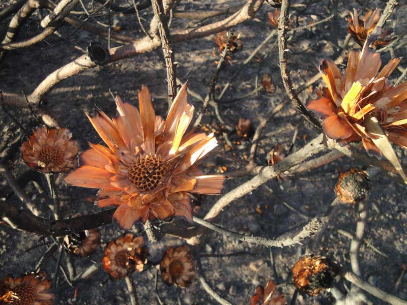 Protea seed heads have cracked open & flung their seeds out.