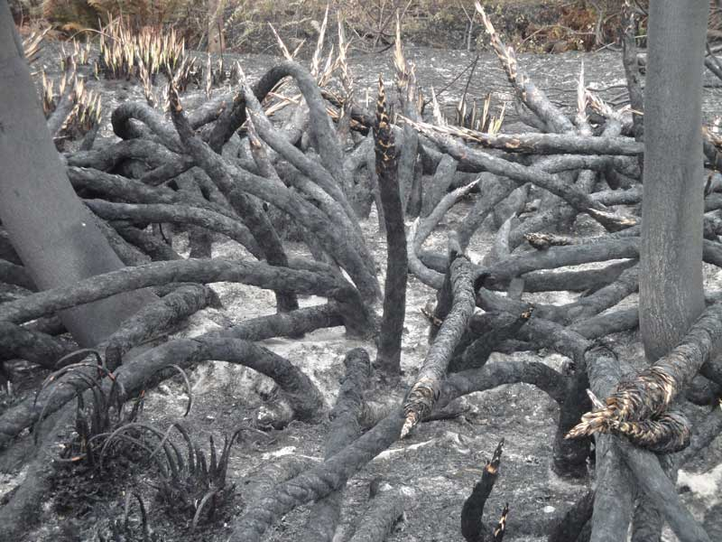 Like charcoal snakes, the stumps of this river-dwelling Palmiet will soon sprout green shoots.