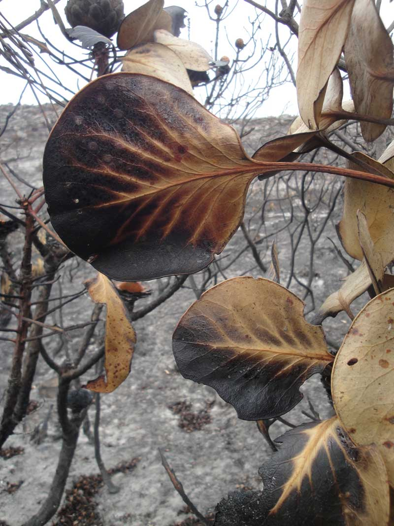 A scorched King Protea leaf offers a different kind of beauty for the photographer.