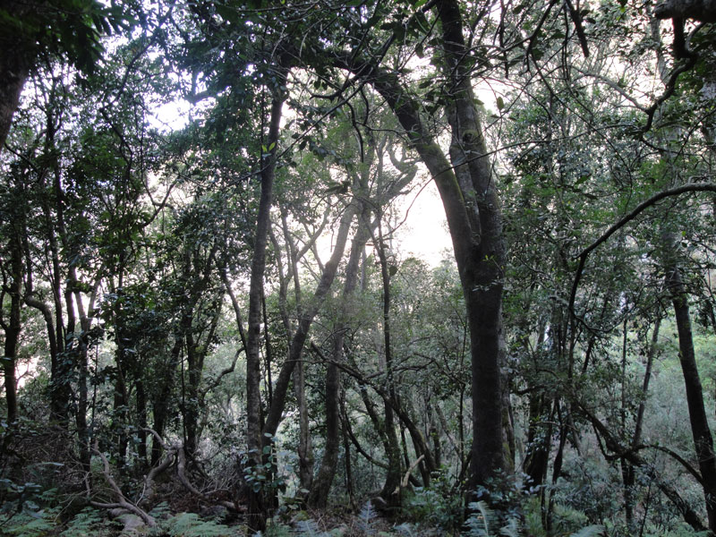 Cool, dripping forest provides shade for afternoon hikers on the way up Table Mountain.