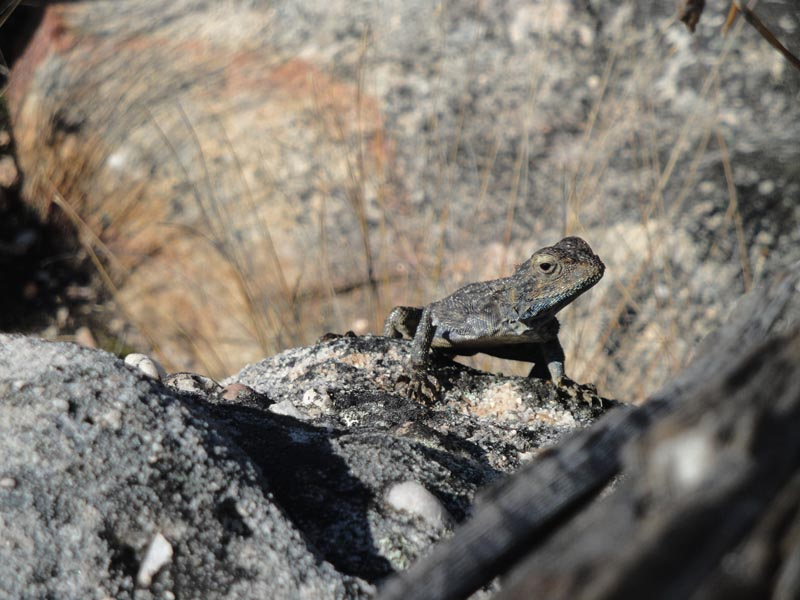 Ground Agama (Agama aculeate)