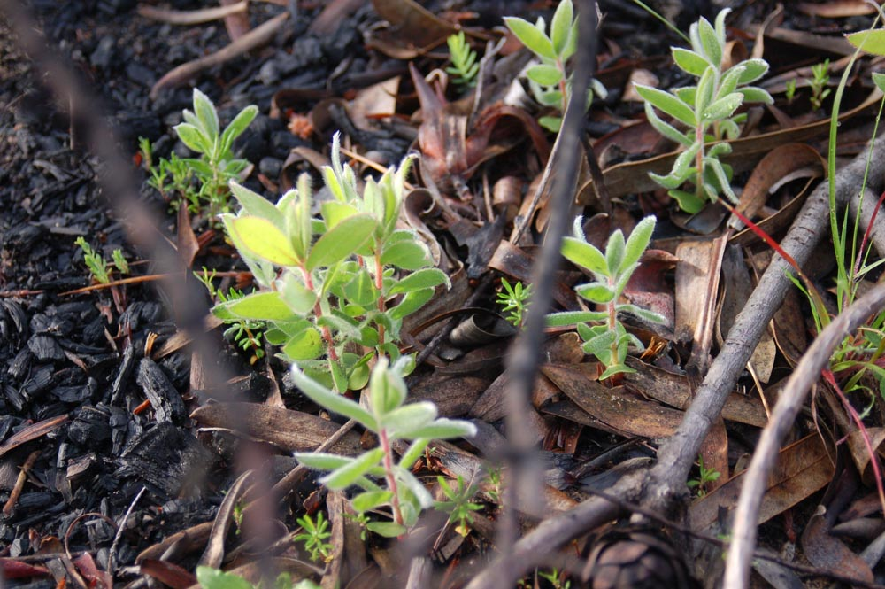 Thousands of seedlings have emerged – these are proteas – but only a handful will survive to maturity.