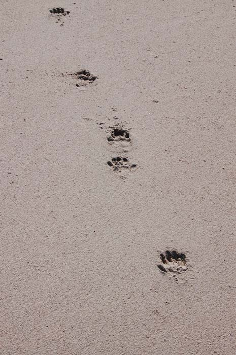 Baboons leave their distinctive prints in the morning's wet sad.