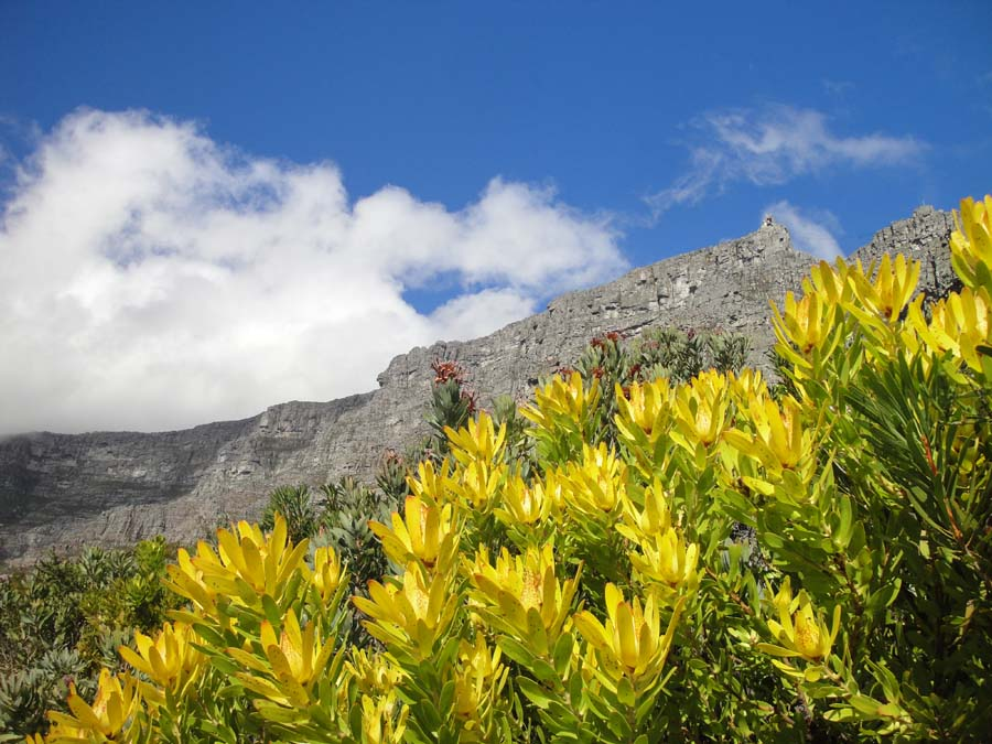Bright yellow conebush proteas are framed by Table Mountain's famous flat-top.