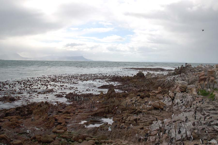 Looking across the bay towards the town of Hermanus: in spring, you can combine penguins with whale watching.