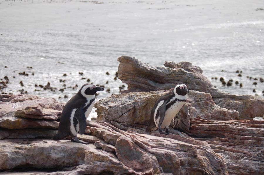 African penguins are generally monogamous & stick with their partner for life.