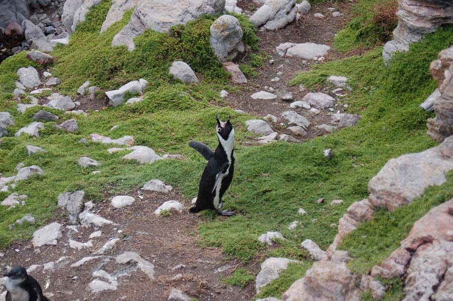They used to be called Jackass penguins, thanks to their honking, donkey-like mating call.