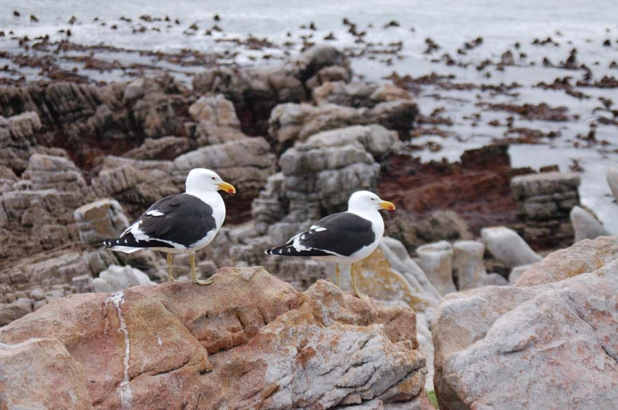 Kelp gulls affect a nonchalant air but they are on the lookout for unguarded penguin eggs to steal.
