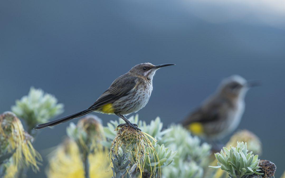FYNBOS BIRDS: WORTH WALKING FOR